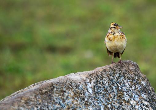 Tanzania, Mara, Serengeti National Park, rufous-naped lark (mirafra africana) on a rock