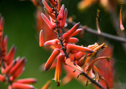 Tanzania, Mara, Serengeti National Park, bloom on sisal agave