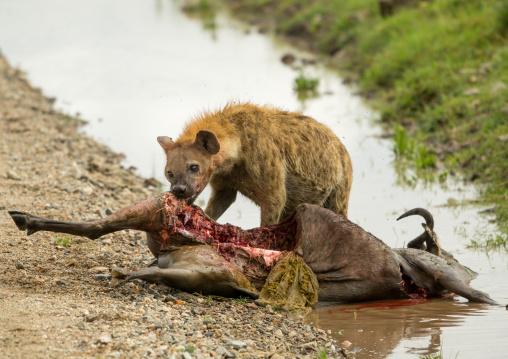 Tanzania, Mara, Serengeti National Park, spotted hyaena (crocuta crocuta) feeding on just-killed wildbeest