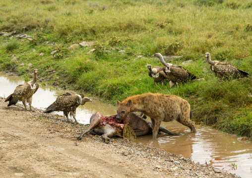 Tanzania, Mara, Serengeti National Park, spotted hyaena (crocuta crocuta) and african white-backed vultures (gyps africanus) feeding on just-killed wildbeest