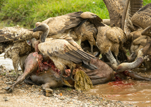 Tanzania, Mara, Serengeti National Park, african white-backed vultures (gyps africanus) feeding on just-killed wildbeest