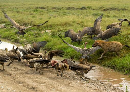 Tanzania, Mara, Serengeti National Park, spotted hyaena (crocuta crocuta) and african white-backed vultures (gyps africanus) feeding on just-killed wildbeest