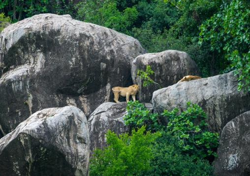 Tanzania, Mara, Serengeti National Park, african lions (panthera leo) on a kopje