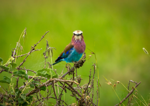 Tanzania, Mara, Serengeti National Park, lilac-breasted roller (coracias caudata)