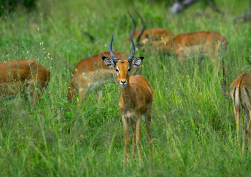 Tanzania, Mara, Serengeti National Park, grant's gazelles females (nanger granti) herd