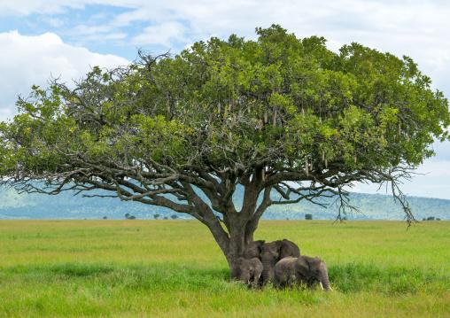 Tanzania, Mara, Serengeti National Park, african elephants (loxodonta africana)