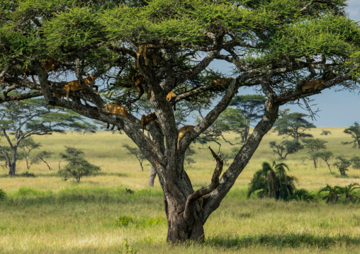Tanzania, Mara, Serengeti National Park, tree-climbing lions sleeping on branches