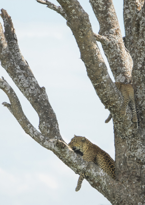 Tanzania, Mara, Serengeti National Park, african leopards (panthera pardus) relaxing on a large branch
