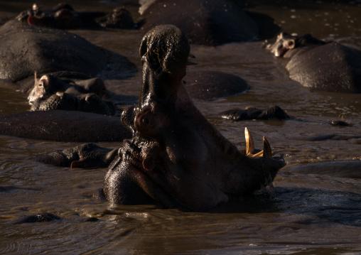 Tanzania, Mara, Serengeti National Park, hippopotamus (hippopotamus amphibius) yawning