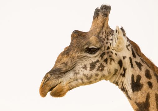 Tanzania, Mara, Serengeti National Park, giraffe (giraffa camelopardalis)