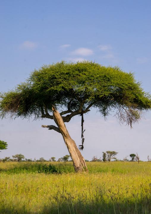 Tanzania, Mara, Serengeti National Park, animal carcass on alone acacia tree