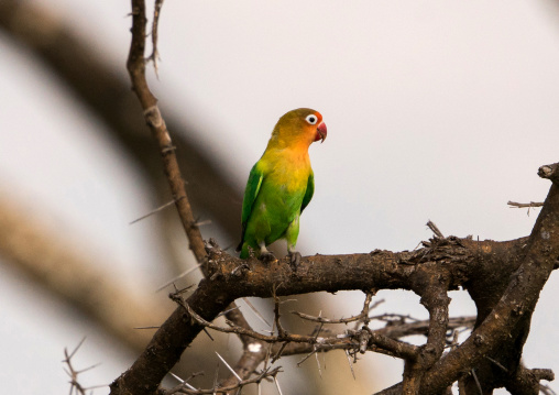 Tanzania, Mara, Serengeti National Park, fischer's lovebirds (agapornis fischeri) on a branch