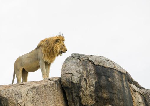 Tanzania, Mara, Serengeti National Park, african lion (panthera leo) on a kopje