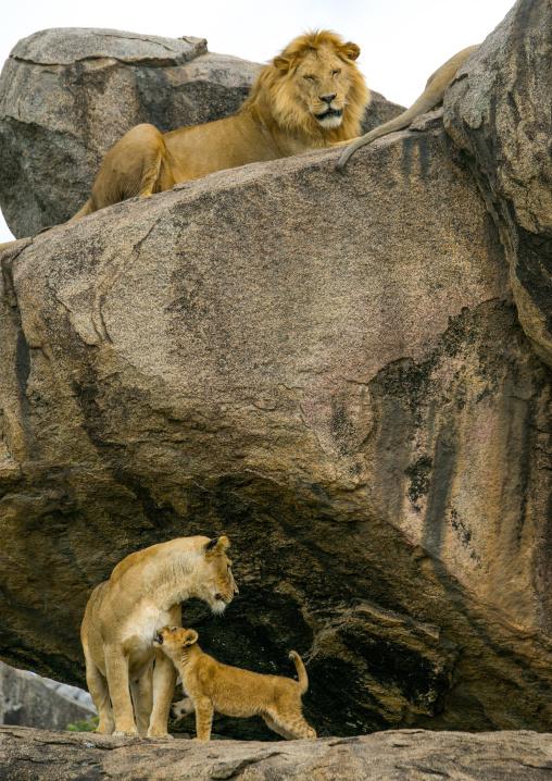 Tanzania, Mara, Serengeti National Park, lion watching a lioness with her cubs (panthera leo) on a kopje