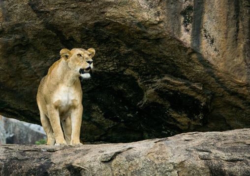 Tanzania, Mara, Serengeti National Park, african lioness (panthera leo) on a kopje