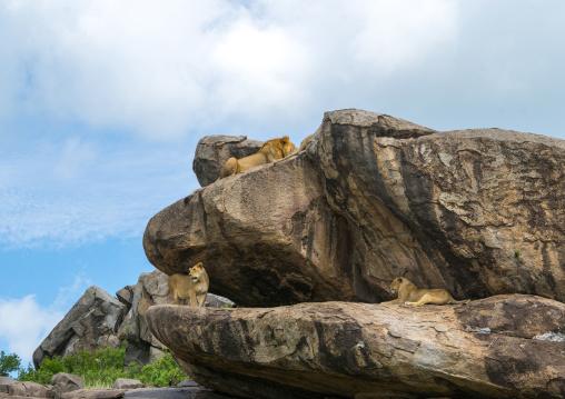 Tanzania, Mara, Serengeti National Park, african lion and lionesses (panthera leo) on a kopje