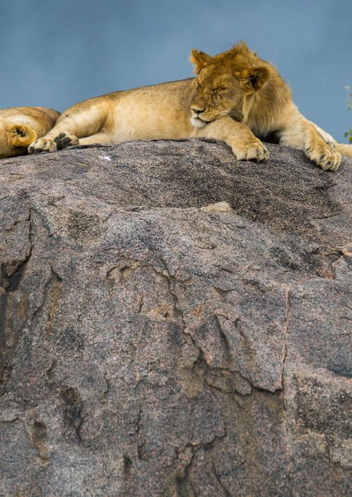Tanzania, Mara, Serengeti National Park, african lionesses (panthera leo) sleeping on a kopje