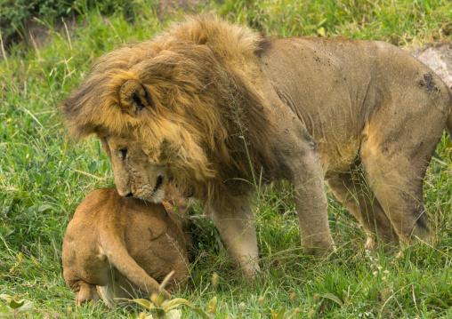Tanzania, Mara, Serengeti National Park, african lion (panthera leo) male and female snarling after mating