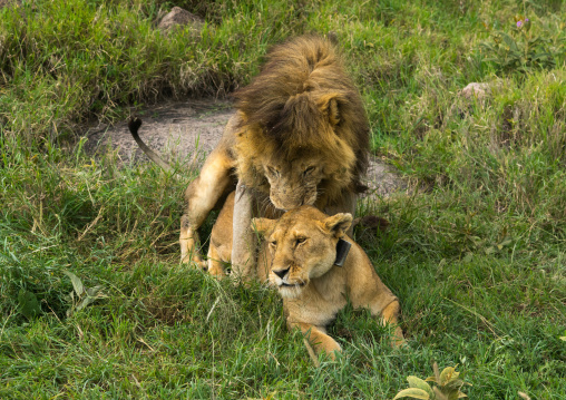 Tanzania, Mara, Serengeti National Park, lion and lioness (panthera leo) mating