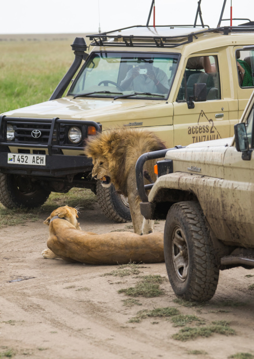 Tanzania, Mara, Serengeti National Park, african lion (panthera leo) male and female snarling after mating between tourist vehicles