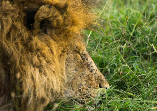 Tanzania, Mara, Serengeti National Park, male african lion (panthera leo) sleeping with flies on the head