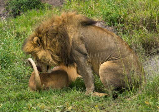 Tanzania, Mara, Serengeti National Park, lion and lioness (panthera leo) mating