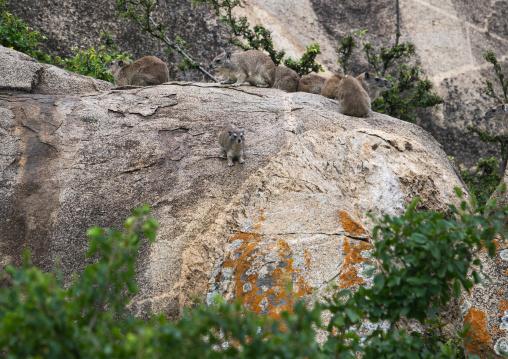 Tanzania, Mara, Serengeti National Park, rock hyrax (procavia capensis)