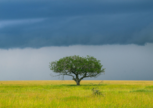 Tanzania, Mara, Serengeti National Park, an acacia tree under a stormy sky