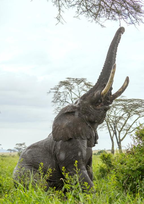 Tanzania, Mara, Serengeti National Park, african elephant (loxodonta africana)