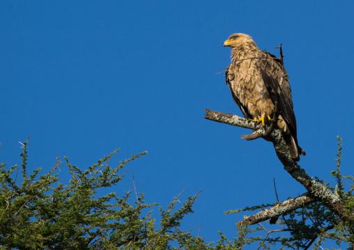 Tanzania, Ashura region, Ngorongoro Conservation Area, african white-backed vulture (gyps africanus)