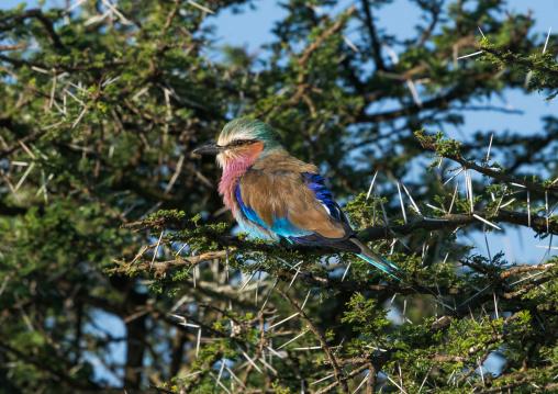 Tanzania, Ashura region, Ngorongoro Conservation Area, lilac-breasted roller (coracias caudata)