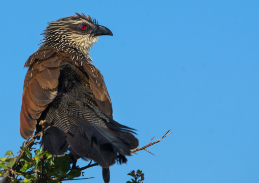 Tanzania, Ashura region, Ngorongoro Conservation Area, coppery-tailed coucal (centropus cupreicaudus)