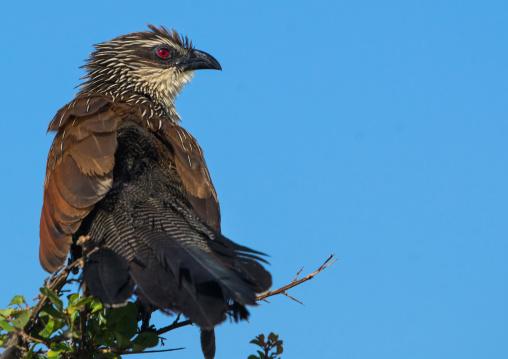 Tanzania, Ashura region, Ngorongoro Conservation Area, coppery-tailed coucal (centropus cupreicaudus)
