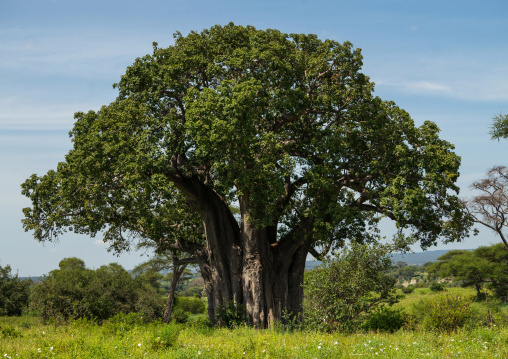 Tanzania, Karatu, Tarangire National Park, large baobab tree (adansonia digitata) with green leaves