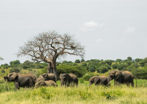 Tanzania, Karatu, Tarangire National Park, african elephants herd (loxodonta africana) in front of baobab tree (adansonia digitata)