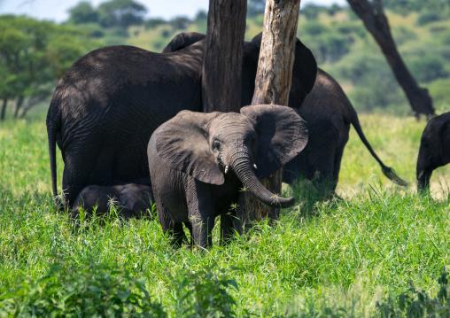 Tanzania, Karatu, Tarangire National Park, african elephants (loxodonta africana)