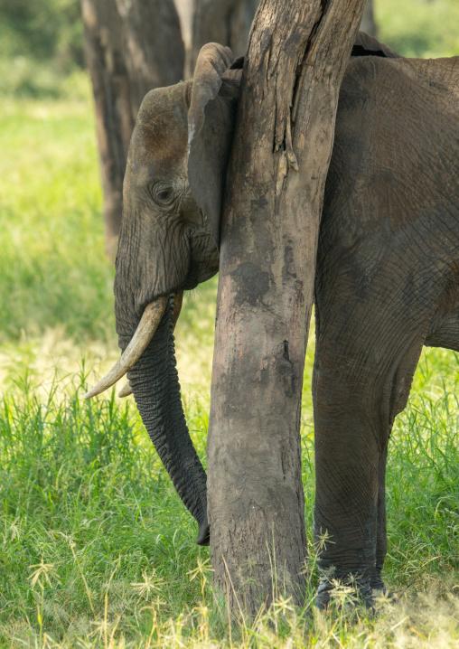 Tanzania, Karatu, Tarangire National Park, african elephant (loxodonta africana)