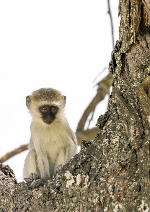 Tanzania, Karatu, Tarangire National Park, black-faced vervet monkey (cercopithecus aethiops) baby in a tree