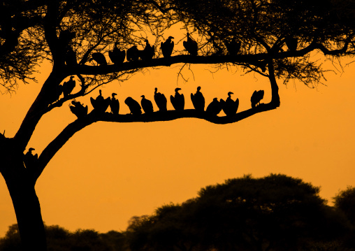 Tanzania, Karatu, Tarangire National Park, group of african white-backed vultures (gyps africanus) sitting in acacia tree