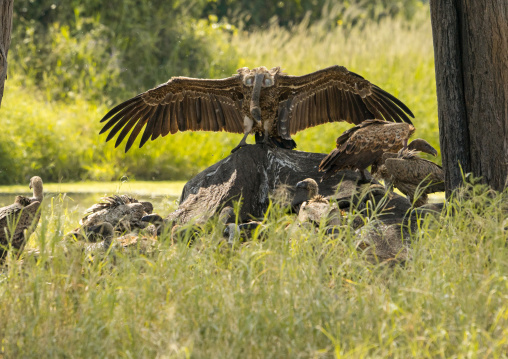 Tanzania, Karatu, Tarangire National Park, african white-backed vultures (gyps africanus) feeding on elephant carcass