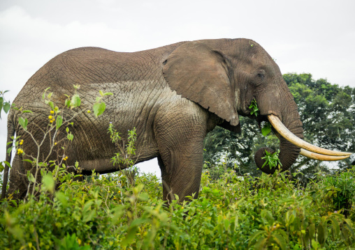 Tanzania, Arusha Region, Ngorongoro Conservation Area, african elephant (loxodonta africana)