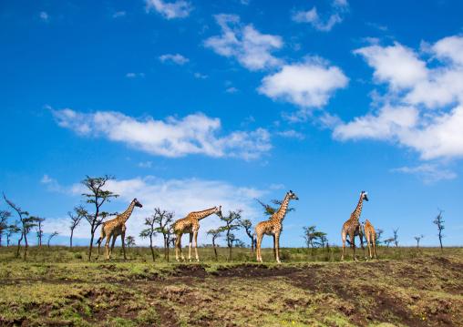 Tanzania, Ashura region, Ngorongoro Conservation Area, giraffes (giraffa camelopardalis)