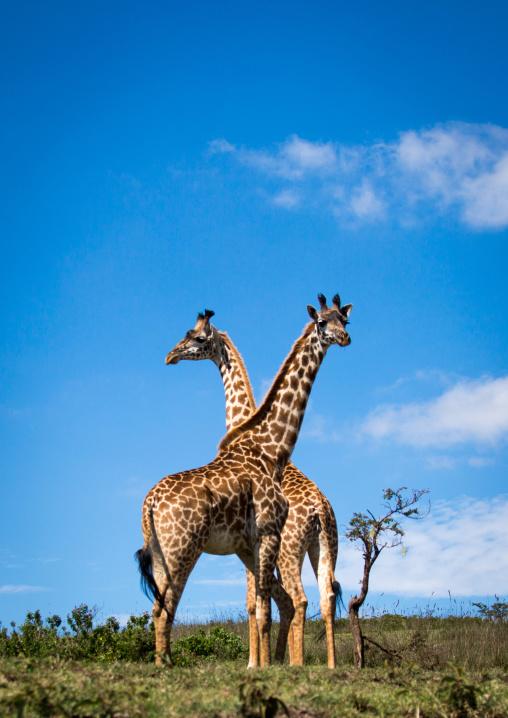 Tanzania, Ashura region, Ngorongoro Conservation Area, giraffe (giraffa camelopardalis)