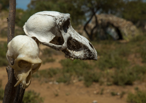 Tanzania, Serengeti Plateau, Lake Eyasi, skull of a monkey in hadzabe tribe