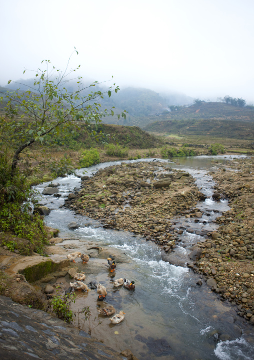 Ducks in a brook in the countryside, Sapa, Vietnam