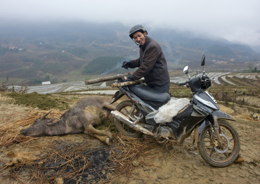 Black hmong man going to pull the buffalo he just killed with his motorbike, Sapa, Vietnam