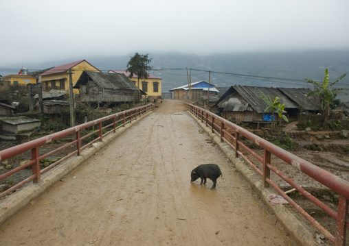 Pig in the middle of the muddy road, Sapa, Vietnam