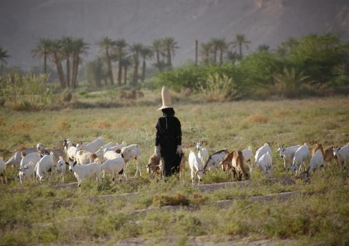Hadramaut Sheperd Woman Grazing Sheep In A Field, Yemen
