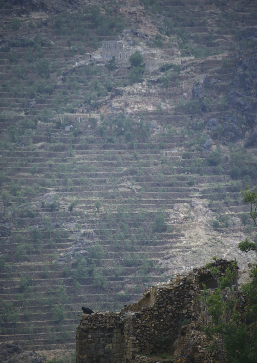 Khat Terrace Cultivation In Shahara, Yemen