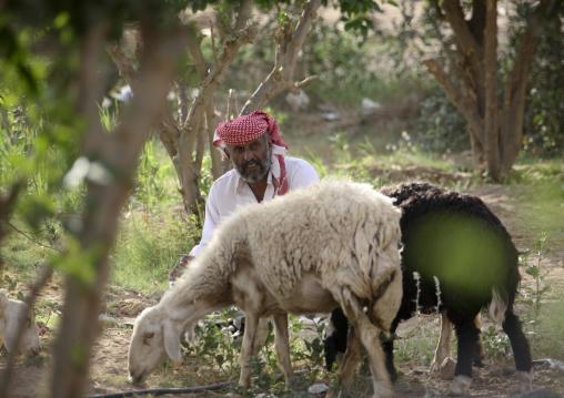 Sheperd In A Field With His Sheep, Marib, Yemen
